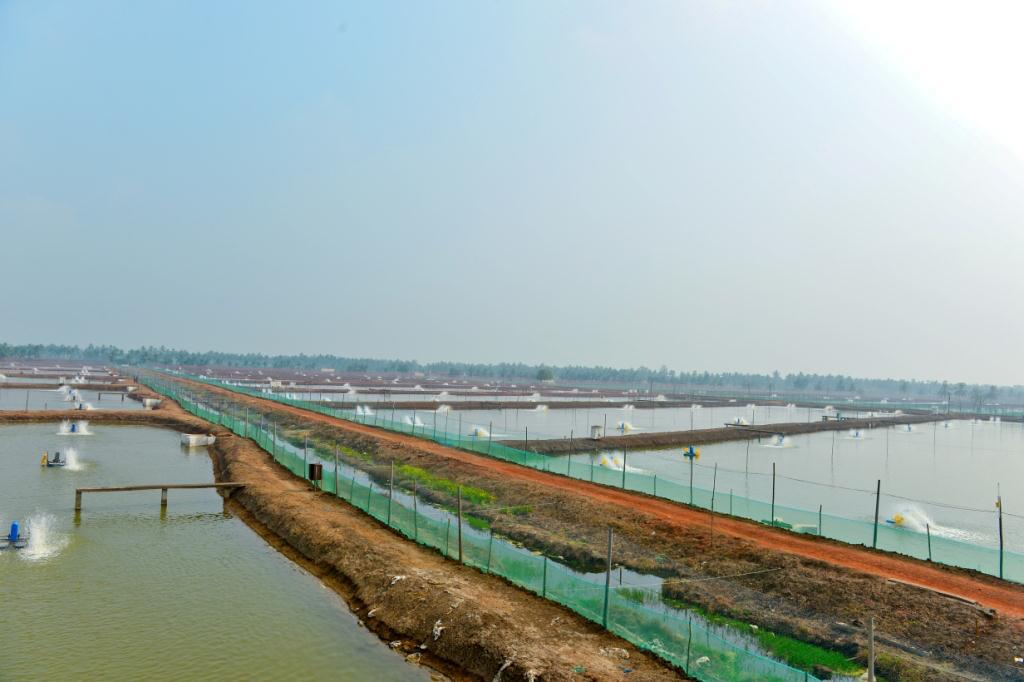 Farming Our Company has Shrimp farming in the surrounding areas of Kakinada processing plant.